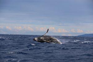 Whale-Spotting-Hawaii
